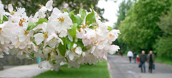 Закарпаття. Ужгород. Яблуневий цвіт